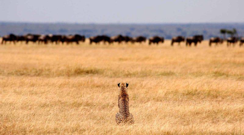 Un guépard en safari en Tanzanie
